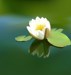 white water lily vector image