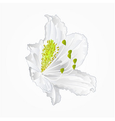 Blossoms white rhododendron nine mountain shrub vector