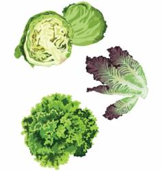 lettuce vector image vector image