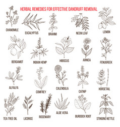 best herbal remedies for effective dandruff vector image