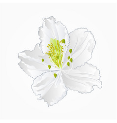 blossoms white rhododendron twelve vector image