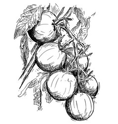 Hand drawing of ripe tomatoes growing on branch vector