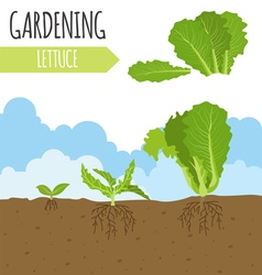 Garden lettuce salad plant growth vector