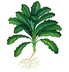 Fresh kale with roots vector