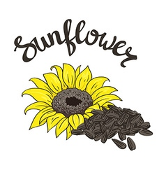 Hand drawn yellow sunflower and sunflower seeds vector