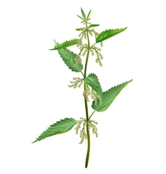 Nettle isolated vector image vector image