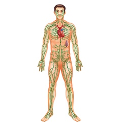 Lymphatic system vector