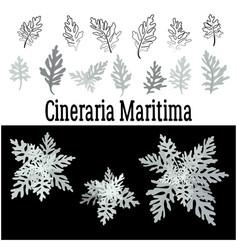 Plant cineraria maritima set vector