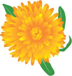 Marigold flower vector