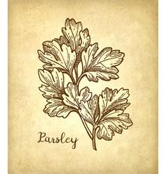 parsley ink sketch vector image vector image