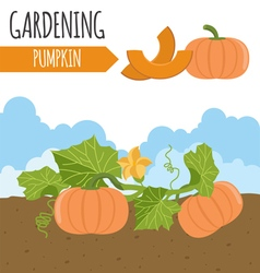Garden pumpkin plant growth vector