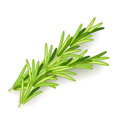 rosemary isolated on white vector image vector image