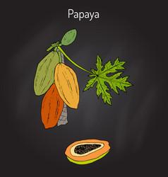 Papaya carica papaya or papaw pawpaw tropical vector