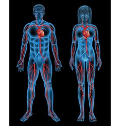 Circulatory system of a human vector image vector image