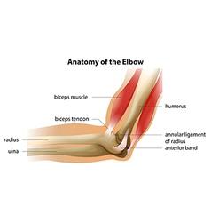 Anatomy of the elbow vector