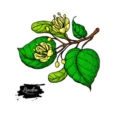 Linden drawing set isolated lime tree vector