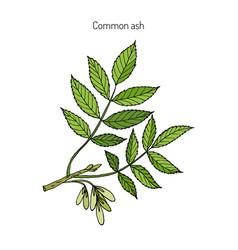 Common ash tree branch vector