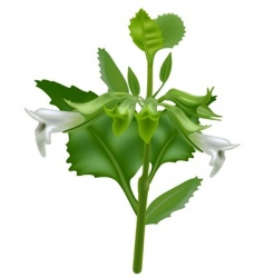 lemon balm vector image