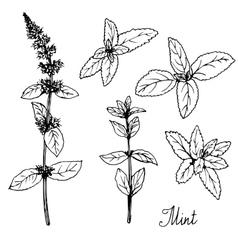 Hand drawn mint plants vector