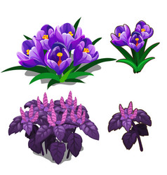 Beautiful purple tulips and purple basil vector
