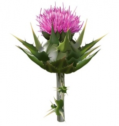 Milk thistle vector