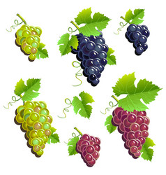 bunches of grapes set vector image vector image