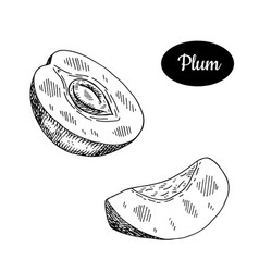Hand drawn sketch style fresh plum vector