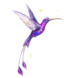 Hummanbird watercolor vector