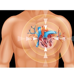 Human heart in close up diagram vector