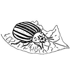 Colorado potato beetle vector image