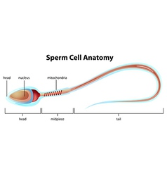 Sperm cell structure vector image