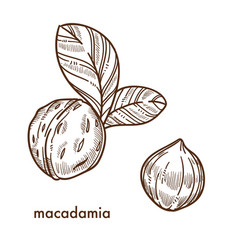 Whole macadamia nuts in shell with small leaves vector