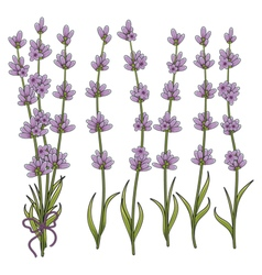 Sprigs of lavender vector