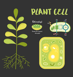 inside theplant cell vector image
