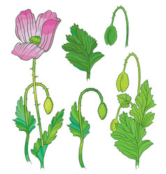 Poppies flowers and buds vector
