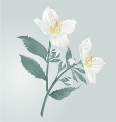 Twig jasmine flowers with leaves vector