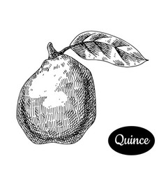 Hand drawn sketch style fresh quince vector