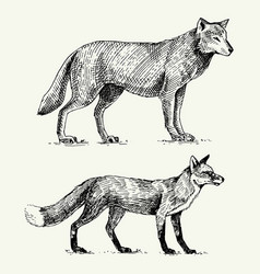 Wild grey wolf and red fox engraved hand drawn in vector