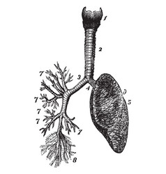 Respiratory system vintage vector
