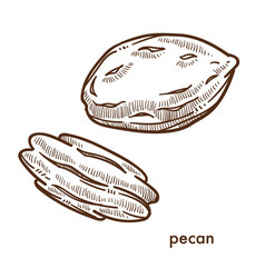 Pecan nut in solid shell isolated monochrome vector