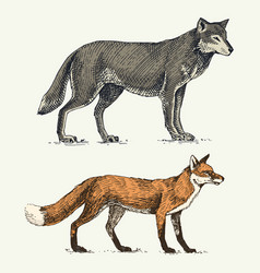 wild grey wolf and red fox engraved hand drawn in vector image vector image