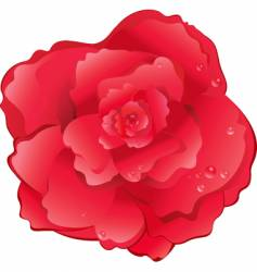 red rose drops of water vector image