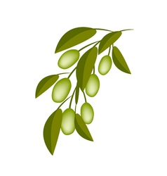 Green olives on a branch on white background vector