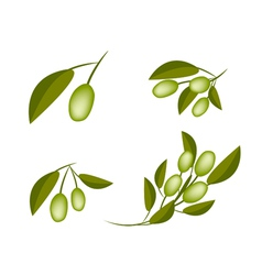 Set of green olives on a branch vector