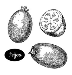 hand drawn sketch style fresh feijoa vector image
