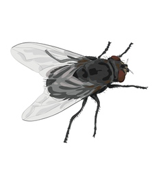 Insect fly isolated on white background vector image