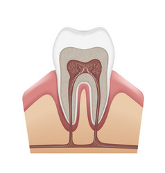 Human tooth structure vector