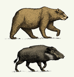 Wild bear grizzly and boar or pig engraved hand vector