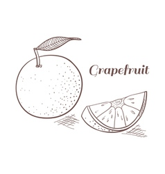Grapefruit in engraving design vector image vector image