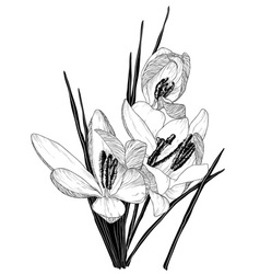 Sketch of blooming crocus flowers vector